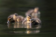 Mallard ducklings on lake Royalty Free Stock Photo