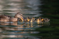Mallard ducklings on lake. Mallard ducklings swimming with their mother on a lake Stock Photography