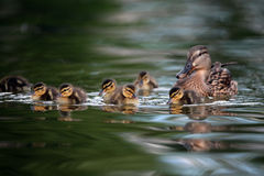 Mallard ducklings on lake. Mallard ducklings swimming with their mother on a lake Royalty Free Stock Photography