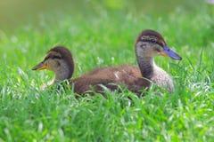 Mallard Ducklings Stock Photos
