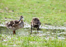 Mallard Ducklings Outside. Two sweet mallard ducklings by a small puddle of water in a park Royalty Free Stock Photos