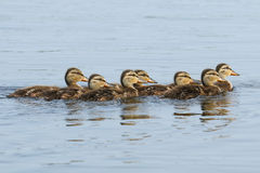 Mallard Ducklings in a Row Royalty Free Stock Images