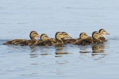 Mallard Ducklings in a Row. Seven mallard ducklings swim in a row in the water Royalty Free Stock Images
