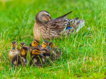 Mallard Ducklings. Sitting in front of their mother in the green grass Stock Photos
