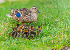 Mallard Ducklings. Sitting in front of their mother in the green grass Royalty Free Stock Photography