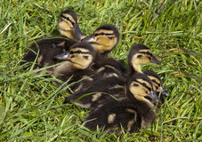 Mallard ducklings sitting in the green grass Stock Photography