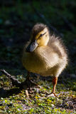 Mallard ducklings sun. Fuzzy yellow brown bird mallard duckling duck baby on the green waters edge in the morning sun Royalty Free Stock Photography