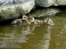 Mallard Ducklings. Swim and play in the water of a city pond Stock Images