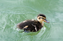Mallard Ducklings swimming. Cute little Mallard Ducklings swimming on the water of the bay of Island New Zealand Royalty Free Stock Photo