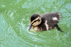 Mallard Ducklings swimming. Cute little Mallard Ducklings swimming on the water of the bay of Island New Zealand Stock Images