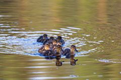 Mallard ducklings. Swimming in the lake Stock Photos