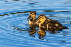 Mallard ducklings. Swimming in the lake Royalty Free Stock Images