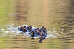 Mallard ducklings. Swimming in the lake Stock Photography