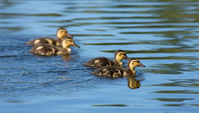 Mallard ducklings swimming. On the lake Royalty Free Stock Photo