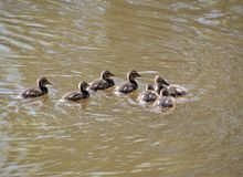 Mallard ducklings swimming. On a lake Royalty Free Stock Photos