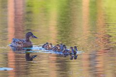 Mallard ducklings. With their mother swims in the lake Stock Images