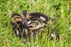 Mallard ducklings. Three Mallard (Anas platyrhynchos) ducklings in grass Stock Photography