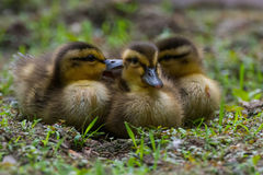Mallard ducklings 2. Three fuzzy furry yellow and brown talking squawking quacking gossiping mallard ducklings Royalty Free Stock Image