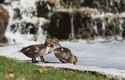 Mallard Ducklings. Three mallard ducklings, two lined up, and one poised ready to jump into pond, waterfall blurred in background Royalty Free Stock Photography