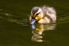 Mallard ducklings 3. Yellow and brown mallard duckling chick swimming on a green pond in the sun Stock Image