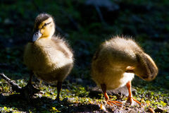 Mallard ducklings. Yellow and brown fuzzy fluffy mallard ducklings in the bright morning sun preening Stock Photos