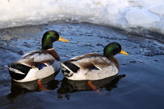 Mallard Ducks. Swimming on a lake in winter Royalty Free Stock Photo