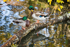 Mallard ducks. Preening themselves on a log over the water Stock Photo