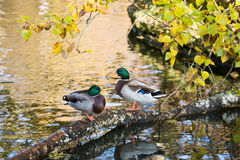 Mallard ducks. Sitting on a log over the water Stock Images