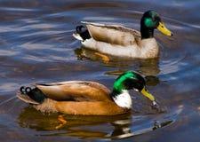 Mallard Ducks. A pair of mallard ducks swimming in a loch Royalty Free Stock Photos