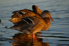Mallard Ducks. A pair of female mallard ducks stand in shallow water, directly behind one another Stock Image