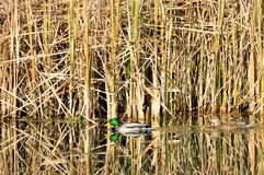 Mallard Ducks. Pair of mallard ducks swim on a pond Stock Photos