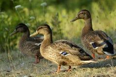 Mallard Ducks. Three brown mallard ducks in a grass field Stock Photo