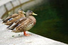 Mallard ducks. Near a pond Royalty Free Stock Photo