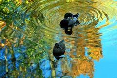 Mallard Ducks. Male and female Mallard ducks in a colorful autumn reflection Royalty Free Stock Photos