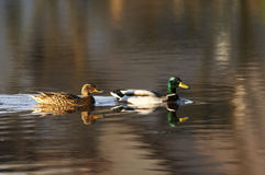 Mallard ducks. On a water Royalty Free Stock Images