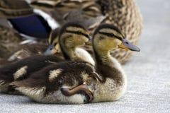 Mallard ducks. Or ducklings sitting on a cement sidewalk Stock Photography