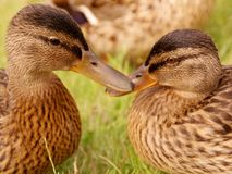 Mallard ducks. Portrait of two young mallard ducks Royalty Free Stock Images