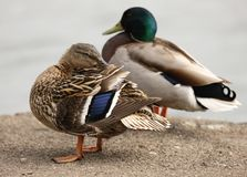 Mallard Ducks. A female Mallard Duck preening her feathers Royalty Free Stock Image
