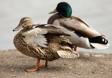 Mallard Ducks. A female Mallard Duck preening her feathers Stock Photos