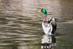 Mallard Ducks (Anas platyrhynchos) flapping wings in pond Royalty Free Stock Images