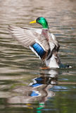 Mallard Ducks (Anas platyrhynchos) flapping wings in pond Stock Photography