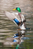 Mallard Ducks (Anas platyrhynchos) flapping wings in pond in sof. Mallard Duck (Drake) flapping wings in a pond in soft focus Stock Image