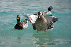Mallard Ducks. Anas platyrhynchos flying up Royalty Free Stock Image