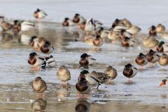 Mallard ducks on the ice of a lake. Mallard ducks Anas platyrhynchos on the ice of a lake Royalty Free Stock Photo