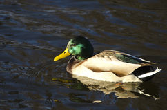 Mallard Ducks (Anas platyrhynchos) relaxing in pond Stock Image
