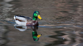 Mallard Ducks (Anas platyrhynchos) relaxing in pond Royalty Free Stock Photo