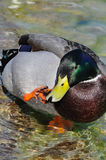 Mallard Ducks. Anas platyrhynchos. scratchind a beak Royalty Free Stock Images