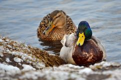 Mallard ducks (Anas platyrhynchos). Wild ducks in its natural habitat Stock Image