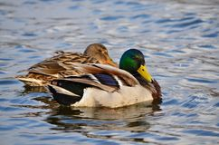 Mallard ducks (Anas platyrhynchos). Wild ducks in its natural habitat Royalty Free Stock Photo