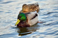 Mallard ducks (Anas platyrhynchos). Wild ducks in its natural habitat Stock Photography